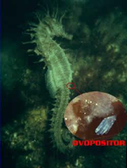 Caballito de mar reproduccion asexual definicion